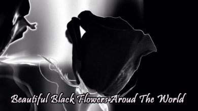 Photo of Different Types Of Beautiful Black Flowers Aroud The World